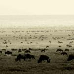 Piaya Migration 2