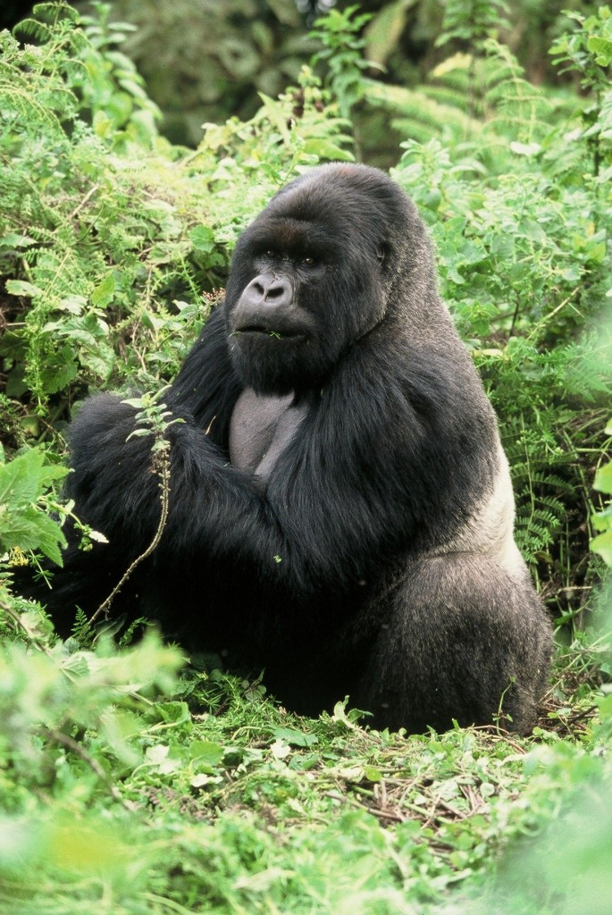 Special Interest Safaris – Authentic Gorilla, Chimps & Game Safari!