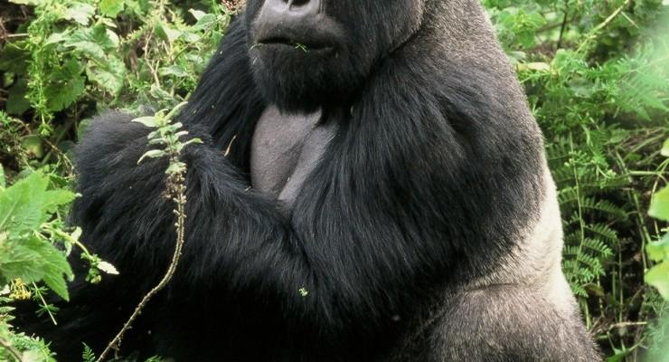 Special Interest Safaris – Authentic Gorilla, Chimps & Game Safari!
