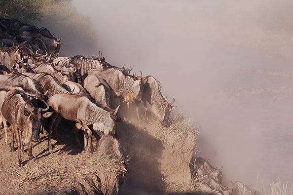 Wildebeest-crossing-Serengeti-Safari
