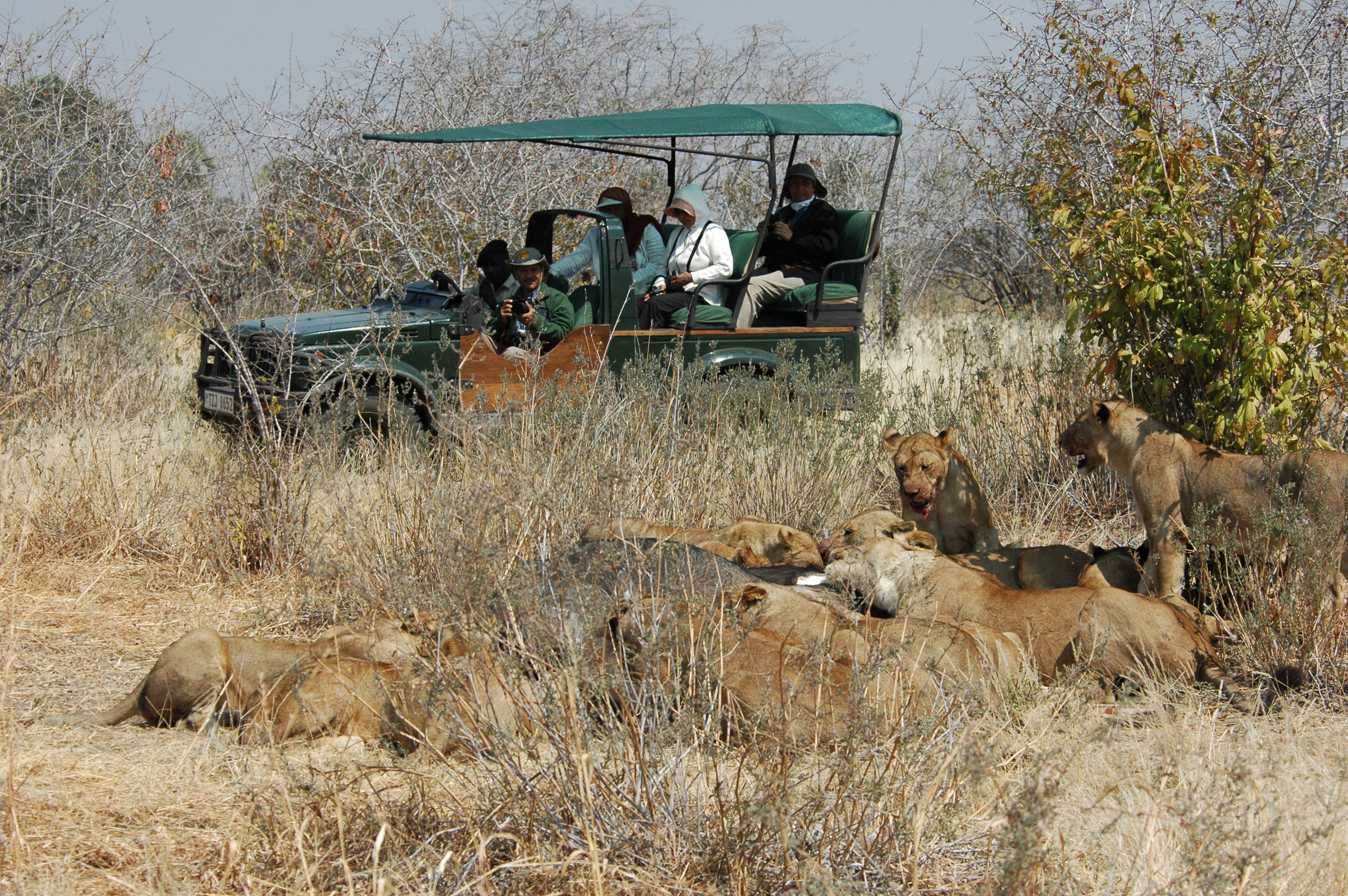 game drive lion kill