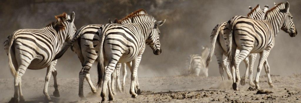 Leroo_La_Tau_zebra_hide