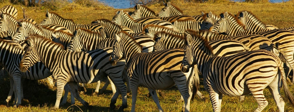 Zebra Migration in Southern Africa is The Longest Migration in Africa